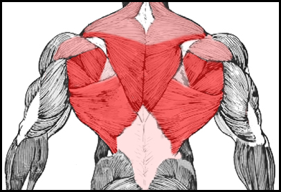 Inverted Row ProgressionsInverted Row Muscles